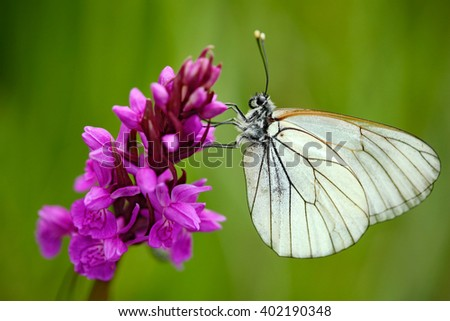 Czech Orchid, Dactylorhiza bohemica, pink orchid and white butterfly, flowering European terrestrial wild orchid, nature habitat, detail of beautiful bloom, green clear background, Czech republic - stock photo