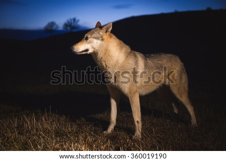 Czechoslovakian Wolfdog is a dog breed between German Shepherd Dogs with Carpathian wolves (Canis lupus lupus)