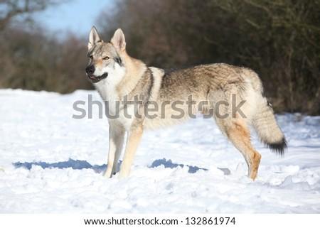 Czechoslovakian wolfdog on the snow - stock photo