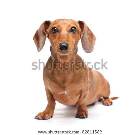 dachshund - stock photo
