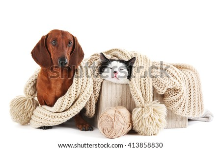 Dachshund and cat in box with scarf, isolated on white. - stock photo