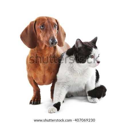 Dachshund and cat isolated on white. - stock photo