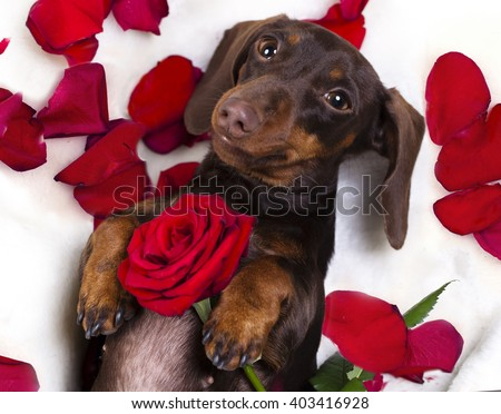 dachshund and red rose - stock photo