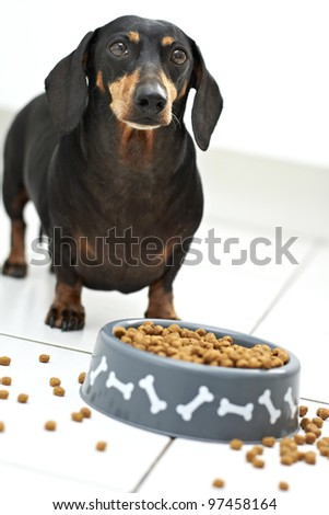 Dachshund breed awaiting command to eat - stock photo
