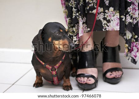 Dachshund breed sitting next to owner wearing red walking leash - stock photo