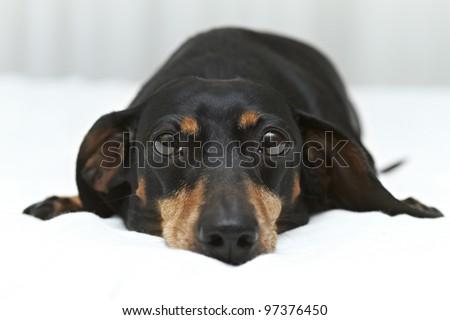 Dachshund dog breed laying flat on white linen - stock photo