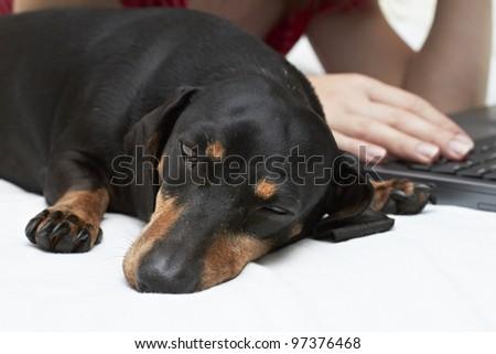 Dachshund dog breed sleeping beside laptop - stock photo