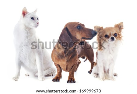 dachshund dog , chihuahua and cat in front of white background