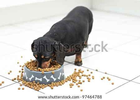 Dachshund dog digging in and eating from bowl - stock photo