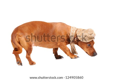 dachshund dog dressed into hat and scarf isolated - stock photo