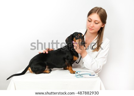 Dachshund dog examination by a veterinary doctor