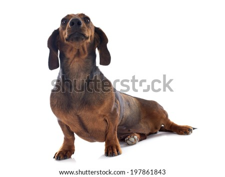 dachshund dog in front of white background