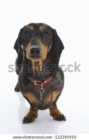Dachshund dog in leash against white background