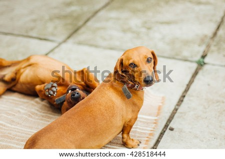 Dachshund dog  in outdoor. Beautiful Dachshund sitting in the  wooden bench. Standard smooth-haired dachshund in the nature. Dachshunds. Cute dachshund  on nature background - stock photo