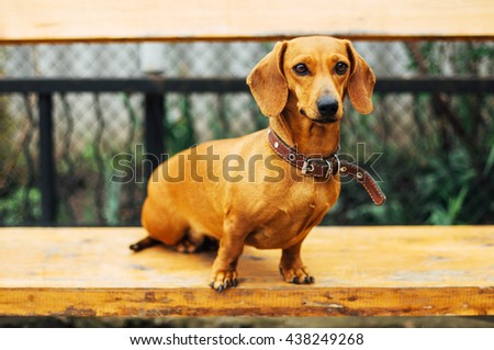 Dachshund dog  in outdoor. Standard smooth-haired dachshund  sitting in the  wooden bench - stock photo