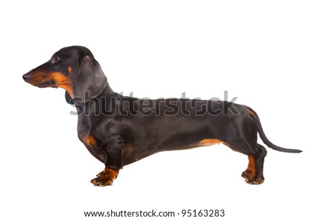 Dachshund Dog isolated over white background - stock photo