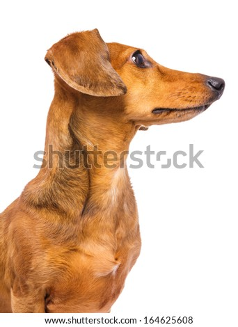 Dachshund dog looking at a side - stock photo
