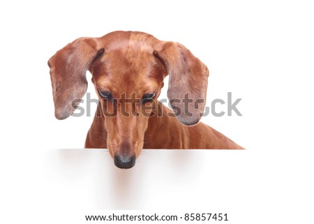dachshund dog looking down - stock photo
