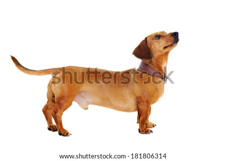 dachshund dog looking up - stock photo