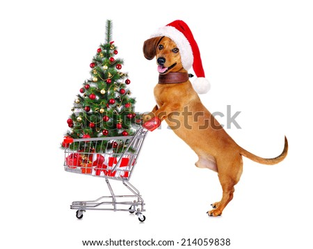dachshund dog making christmas shopping - stock photo
