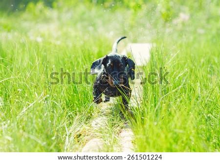 Dachshund dog nature summer - stock photo