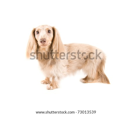 dachshund dog on an isolated white background
