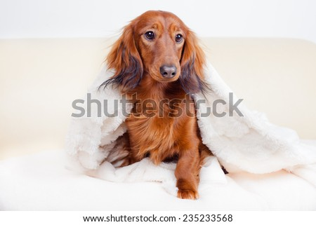 Dachshund dog peeks from under the deck - stock photo