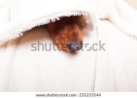 Dachshund dog's nose seems to arise from the bottom - stock photo