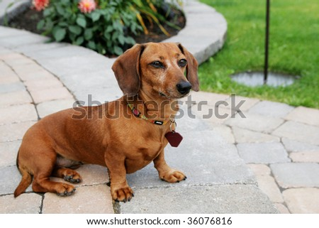 Dachshund dog sit on a pavement and do the guardian