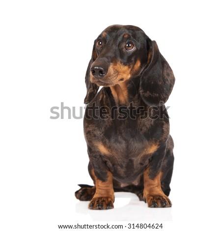 Dachshund dog sitting on white - stock photo