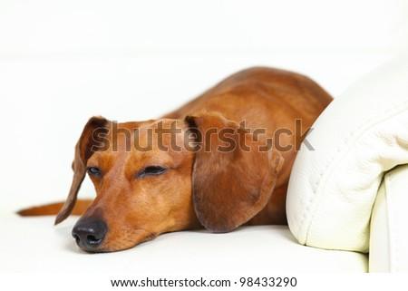 dachshund dog sleep on sofa - stock photo