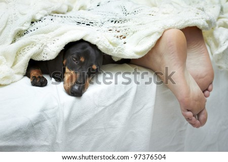 Dachshund dog sleeping on bed next to feet - stock photo