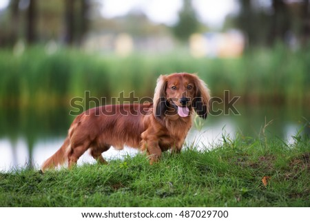 dachshund dog standing outdoors