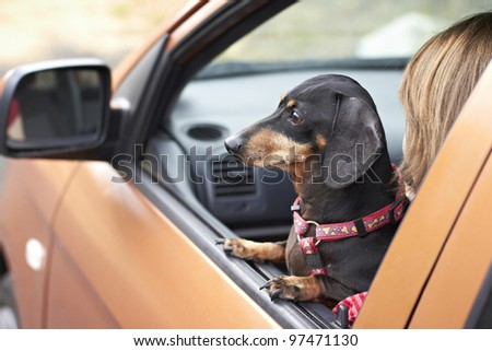 Dachshund dog staring out of car window - stock photo