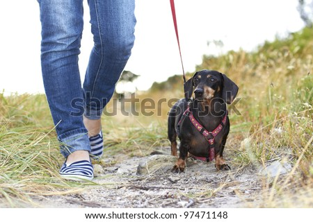 Dachshund dog taking a walk in the park with owner dressed in denim pants - stock photo