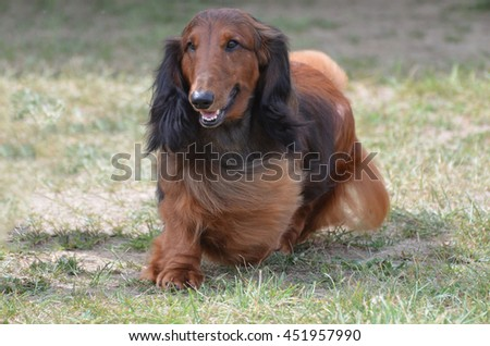 Dachshund dog with long flowing fur. - stock photo