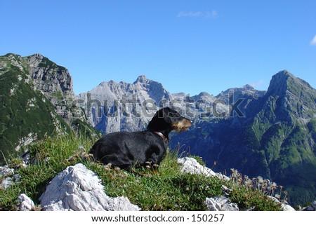 Dachshund enjoying the view - stock photo