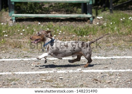 Dachshund in a race.