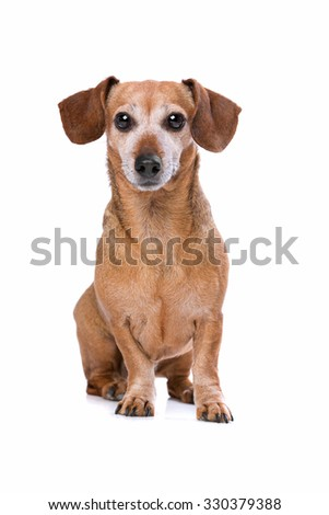 dachshund in front of a white background - stock photo