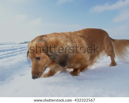 Dachshund in snow