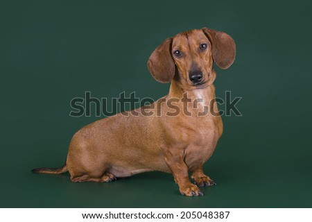 dachshund isolated on a colored background