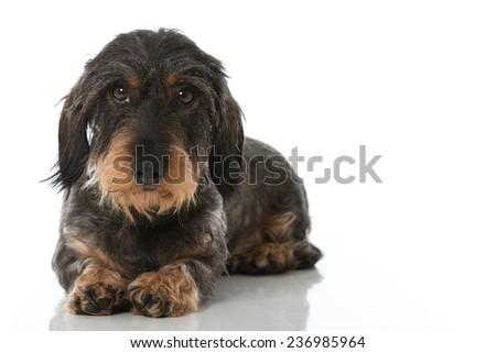 Dachshund isolated on white background - stock photo