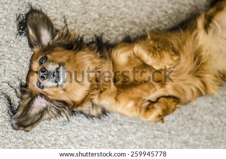 dachshund laying down on back - stock photo