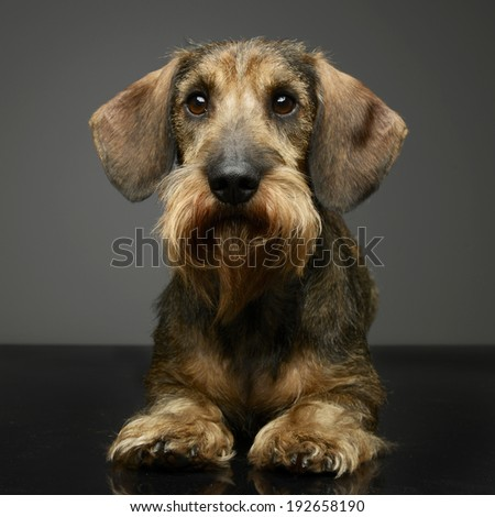 Dachshund looking in the studio table - stock photo