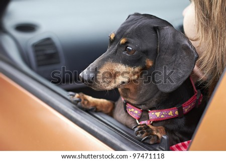 Dachshund looking out of window of orange vehicle - stock photo