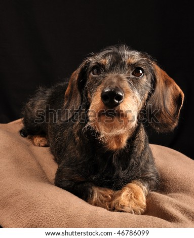 dachshund lying down on a blanket - stock photo