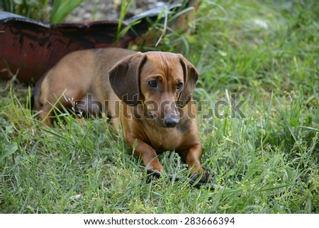 Dachshund lying on grass in a sunny day  - stock photo
