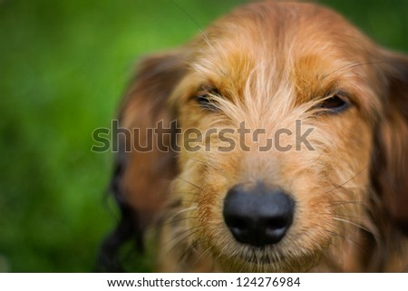 Dachshund mix with Brown coat - stock photo