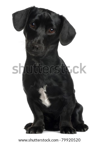 Dachshund, 8 months old, sitting in front of white background