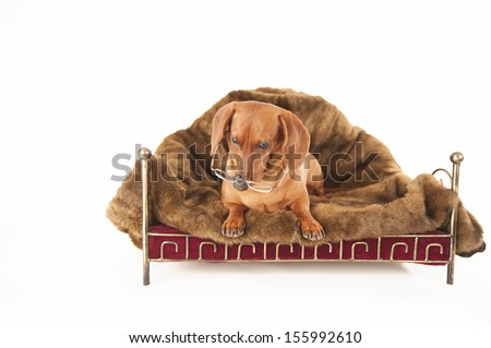 Dachshund on a white background wearing glasses - stock photo